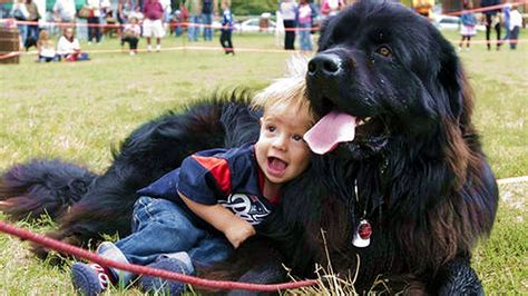 newfoundland dogs  babies kissing  playing