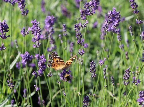 Bilder Mit Lavendel by Bilder Lavendel Lavendel Schneiden Pflegen Das M Ssen