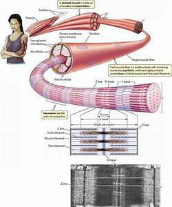 Muscle Functions And Rigor Mortis  U2013 Quahoglife