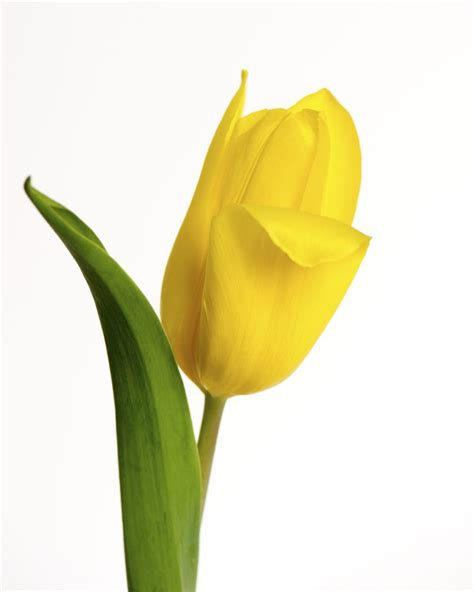 single yellow tulip  white background copyright nancy