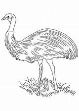 Emu Pages Coloring Bird Flightless sketch template