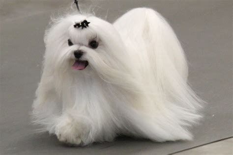 maltese breed information maltese images maltese dog
