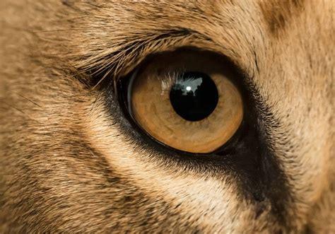 lion eye closeup  henrik vind  px eyes lion