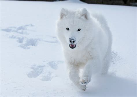 cold weather dog breeds photo gallery