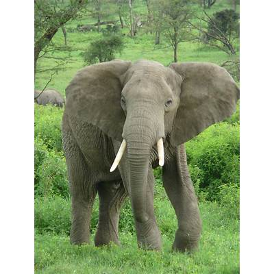 Elephant - Animals Photo (13168524) Fanpop
