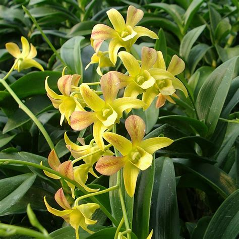 orchid plant orchids