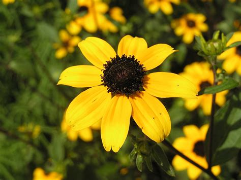 brown eyed susan wiktionary