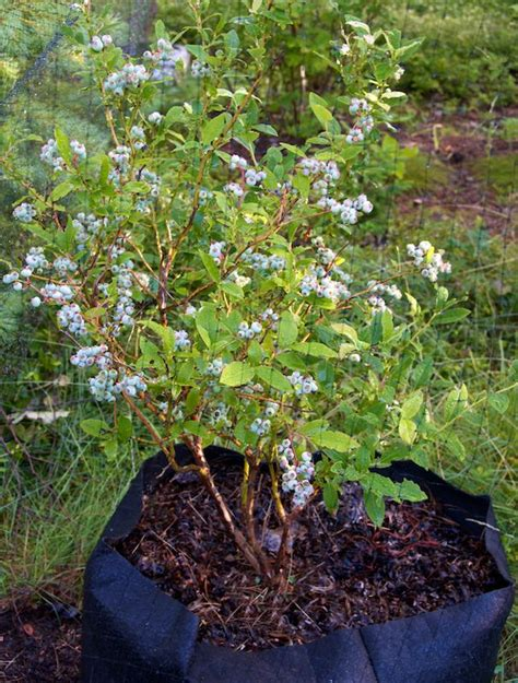 blueberry bush in pot 1000 images about blueberry plants on pinterest gardens blueberry bush care and landscaping