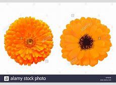 Orange Marigolds Marigold Stock Photos & Orange Marigolds