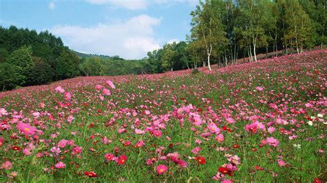 japan trees flowers spring season meadows cosmos flower