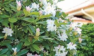 Rhododendron Blüten Schneiden : rhododendron pflegen ~ A.2002-acura-tl-radio.info Haus und Dekorationen
