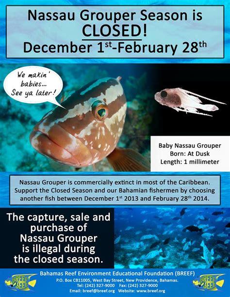 grouper nassau season closed bahamas fishing abaco regulations casuarina point february feb abacopalms
