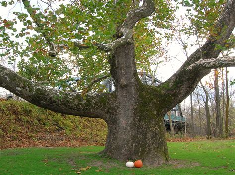 File:Pinchot Sycamore with pumpkins, Simsbury, CT ...