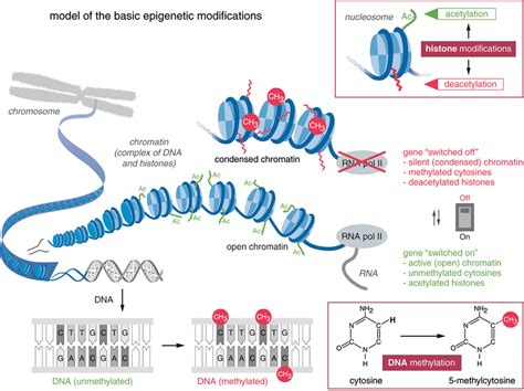 Modification To Dna by Epigenetic Modifications Of Chromatin By Dna Methylation