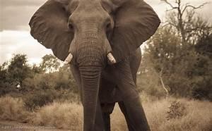 Elephant Attack | loys de fleuriot de la colinière.