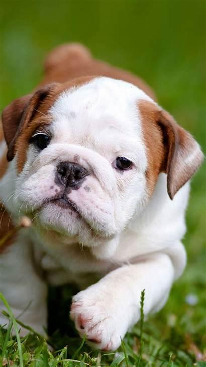Wallpapers Bulldogs Puppies Iphone Bulldog English Animal
