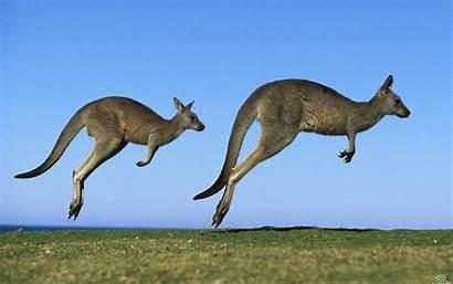 Kangaroo Animals Jumping Kangaroos Pets Jumps Animal