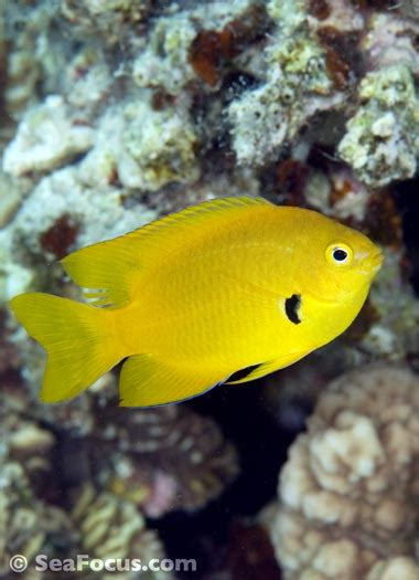 damselfish image gallery marine species information