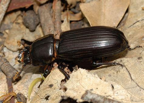 Black Bess Beetle - Mastachilus sp.