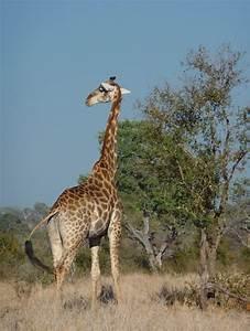 Ausmalbild Giraffe Kostenlose Malvorlagen