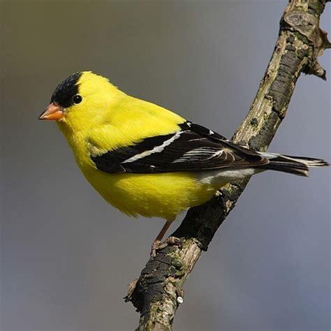 jaxbirding com florida song birds