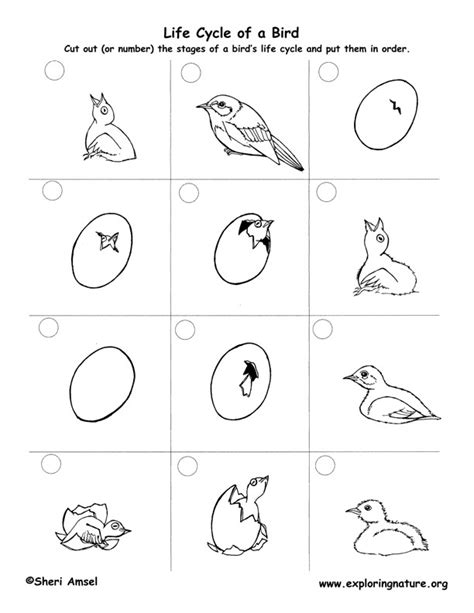 bird life cycle eastern bluebird