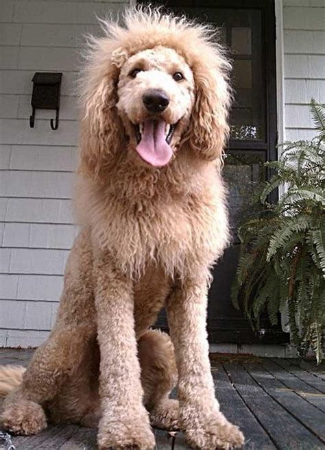 Wilton Manors Halloween by 12 Reasons Why You Should Never Own Labradoodles Goldens