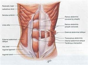 Core Muscle Anatomy - Human Anatomy Diagram