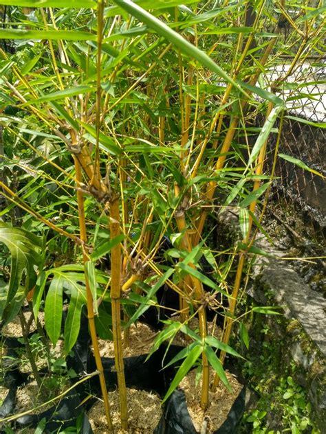 jual beli tanaman hias bambu kuning asli jual beli