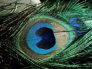 Alternative Cigarette Shisha: Peacock feathers