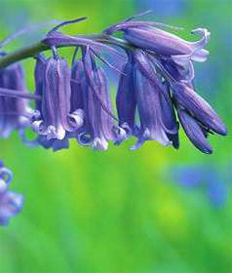bluebell bulbs hyacinthoides nonscripta bluebell