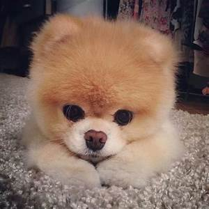 Cute Pomeranian Puppy Pictures, Photos, and Images for ...