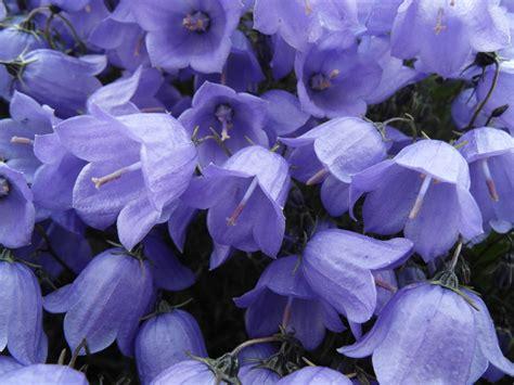 images gratuites fleur violet petale botanique bleu