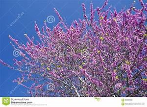 Rosa Blühender Baum Im Frühling : rosa bl hender baum in der bl te in griechenland stockfoto ~ Lizthompson.info Haus und Dekorationen