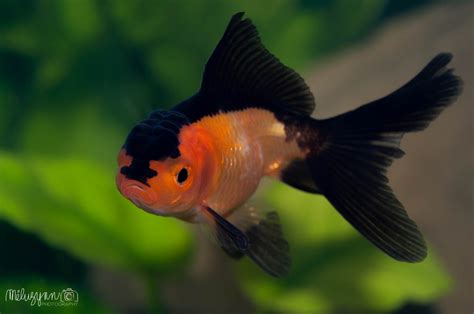 aquarium voile de chine the world s best photos of freshwater and oranda flickr hive mind