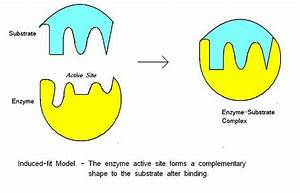 Biochemistry - What Is The Correct Model For Enzyme-substrate Complementarity