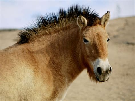 przewalski horses horse endangered wild mongolia extinct china four century