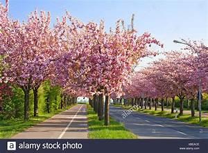 Rosa Blühender Baum Im Frühling : bl te bl ten gedeihen bl henden fr hling baum b ume bl hen ~ Lizthompson.info Haus und Dekorationen