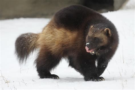 Wolverine Animal Wallpaper - 46 best free wolverine animal wallpapers wallpaperaccess