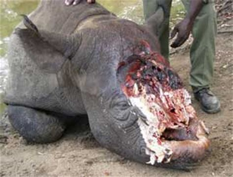 rathkeake mans extradition sought  rhino horn theft