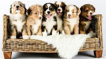 Shepherd Australian Puppies Dog Breeds Favourite Canada