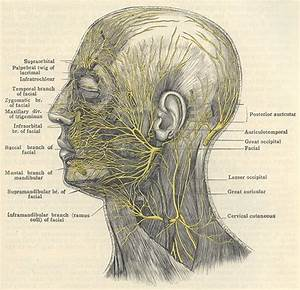 137 Best Facial Anatomy Images On Pinterest