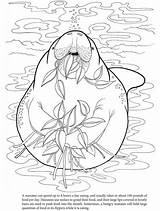 Manatee Coloring Manatees Colouring Hungry Pages Sheet Sheets Adult sketch template