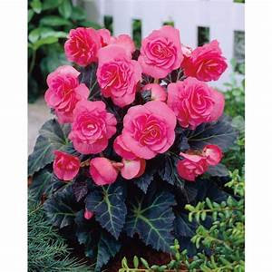 Shop Garden State Bulb 2-Pack Double Pink Tuberous Begonia