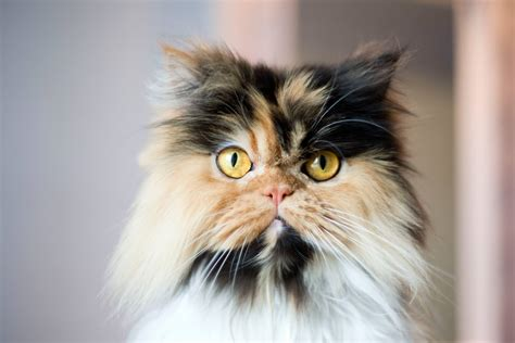 what is the most popular color for kitchen cabinets 12 most popular cat breeds 9969