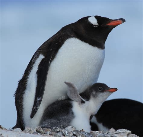 file gentoo penguin with chick at jougla point antarctica