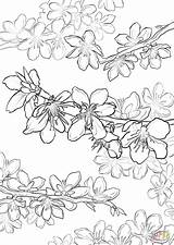 Blossom Cherry Coloring Pages Peach Drawing Line Blossoms Japanese Tree Printable Supercoloring Japan Adults Fruit Getdrawings Trees sketch template