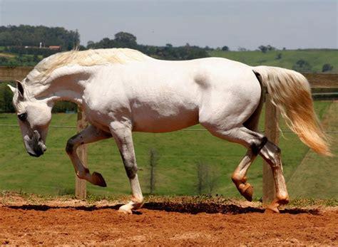 horse most interagro stallion talent stunning lusitano