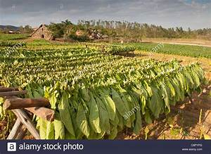 PINAR DEL RIO: VINALES VALLEY TOBACCO FARM WITH TOBACCO ...