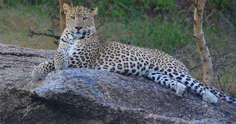 Леопарди в обществото - Зелен Свят